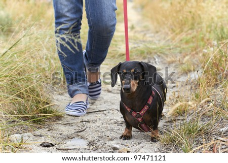 Walking a Dachshund dog - stock photo