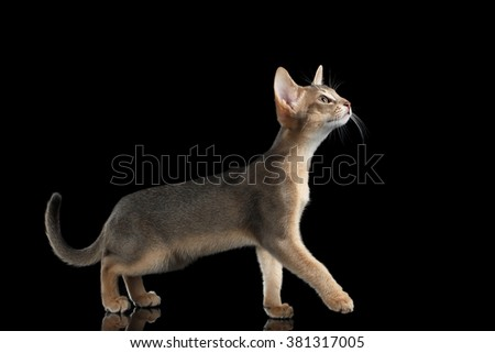 Walking Abyssinian Kitten isolated on mirror black background, Side view
