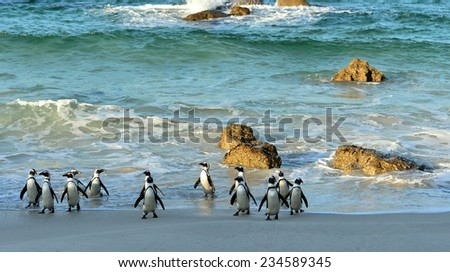 Walking  African penguins (spheniscus demersus) at the Beach. South Africa - stock photo