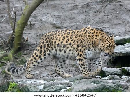 Walking Amur leopard (Panthera pardus orientalis) - stock photo