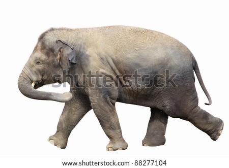 Walking baby elephant isolated on white background - stock photo