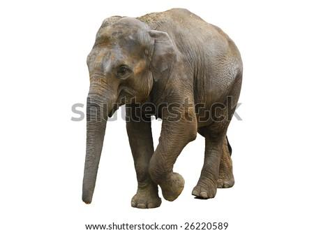 Walking elephant - stock photo