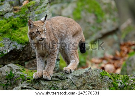 Walking eurasian wild cat Lynx on green moss stone in green forest in background - stock photo