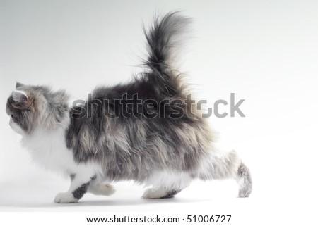 Walking fluffy cat - stock photo
