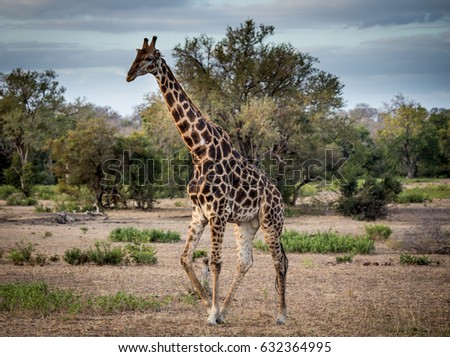 Walking Giraffe, south Africa