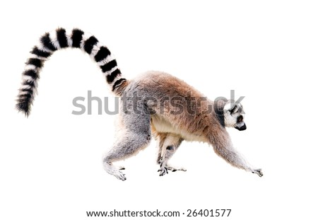 walking lemur isolated on white with clipping path - stock photo
