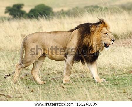 Walking lion - stock photo