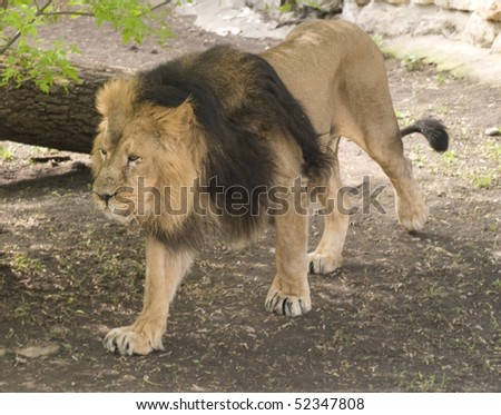 walking lion - stock photo