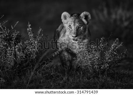 Walking Lion cub in Masai Mara, Kenya - stock photo