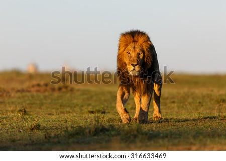 Walking Lion Mohican in Masai Mara, Kenya - stock photo