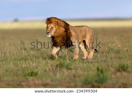 walking lion ron beautiful landscape masai stock photo. Black Bedroom Furniture Sets. Home Design Ideas