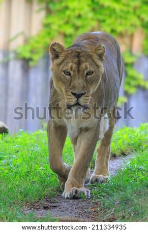 walking lioness - stock photo