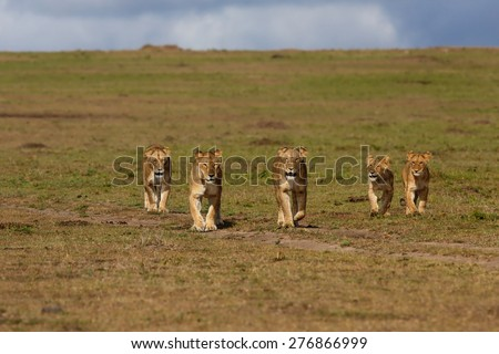 Walking Lions of Double Cross Pride in Masai Mara, Kenya - stock photo