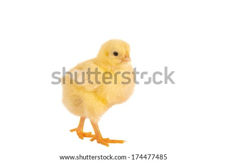 Walking little yellow easter chick on a white background