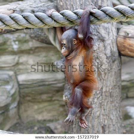 Walking on air of an orangutan baby. A young monkey on thick rope. Cute and cuddly cub with cheerful expression. Careless childhood of little great ape. Human like primate. - stock photo