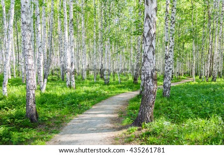 Walking path in birch grove summer morning