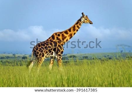 Walking Rothschild's giraffe at Murchison Falls National Park in Uganda - stock photo