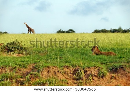Walking Rothschild's giraffe observed by lion at Murchison Falls National Park in Uganda
