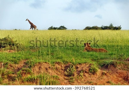 Walking Rothschild's giraffe observed by lion at Murchison Falls National Park in Uganda - stock photo