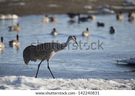 Walking Sandhill Crane - stock photo