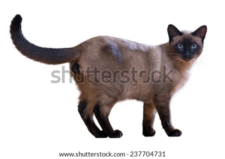 Walking Siamese cat, isolated on white background  - stock photo