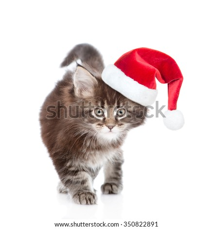 Walking small maine coon cat n red Christmas hat . isolated on white background - stock photo