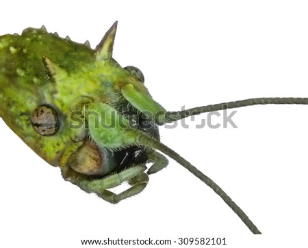 Walking stick insect ( head, portrait ) - Asian walking stick (Phasmina insect) isolated on a white background.Macro - stock photo