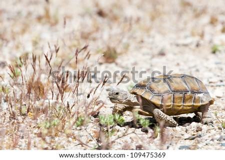 walking turtle at american desert between grass and gravel - stock photo