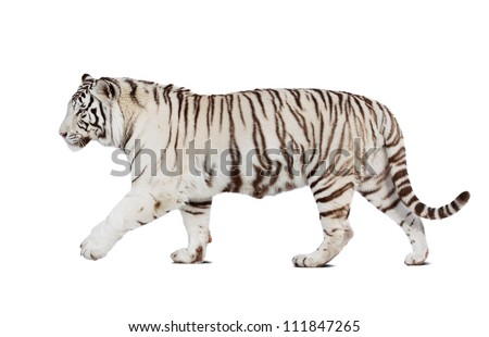 Walking white tiger. Isolated  over white background with shade