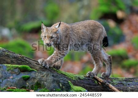 Walking wild cat Eurasian Lynx in green forest  - stock photo