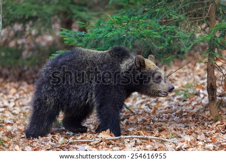 walking young bear - stock photo