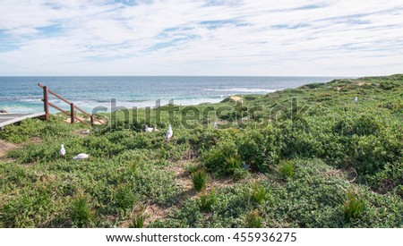 Walkway and lush coastal dunes with the Indian Ocean seascape at Penguin Island in Rockingham, Western Australia/Lush Dunes/Penguin Island, Rockingham, Western Australia - stock photo