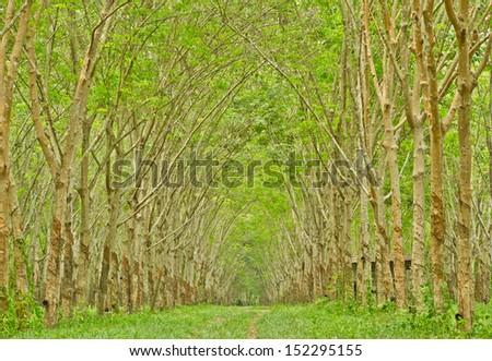 Walkway in green rubber tree farm - stock photo