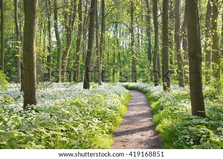 Walkway through a spring forest with blooming white flowers. Wild garlic (Allium ursinum) in Stochemhoeve, Leiden, the Netherlands - stock photo