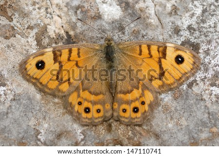 Wall Brown butterfly (Lasiommata megera) on a Gower cliff - stock photo