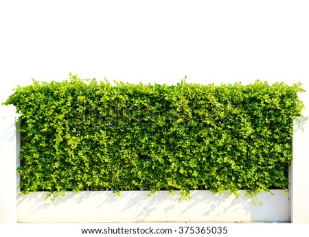 Wall green leaves isolated on white background - stock photo