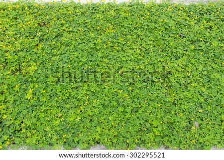 Wall leaves green at side road - stock photo