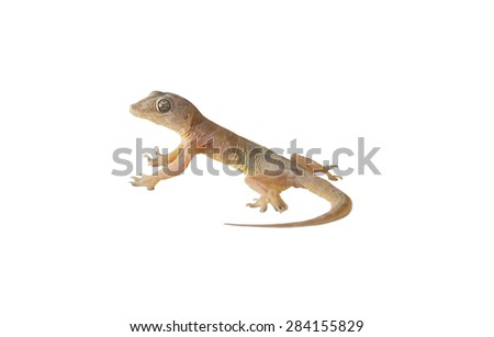 wall-lizard with rough and grain bady, isolated on white background - stock photo
