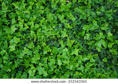 wall of ivy - stock photo