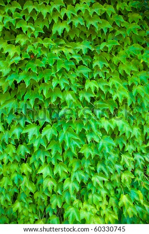 Wall of ivy background - stock photo