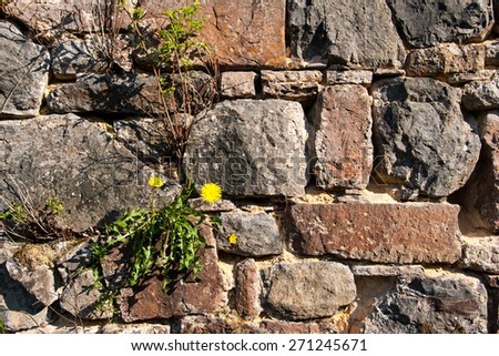 Wall of natural stones in the sunlight, with dandelion