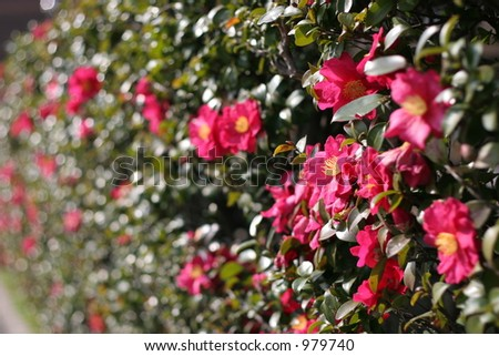 Wall of Red Japanese Camellias  in January - stock photo