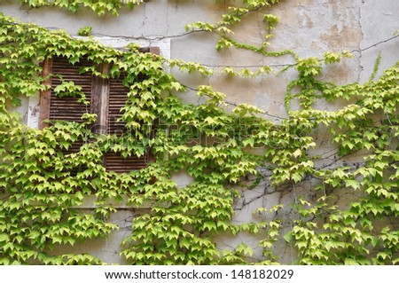 Wall with window overgrown with green wine - stock photo