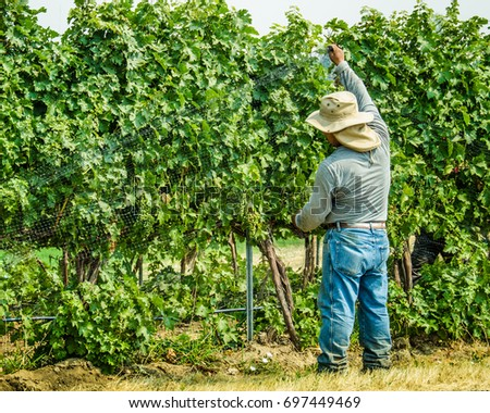 WALLA WALLA, WASHINGTON - AUGUST 8, 2017: Farm worker places netting over grapes ripening in a vineyard to protect them for being eaten by birds.
