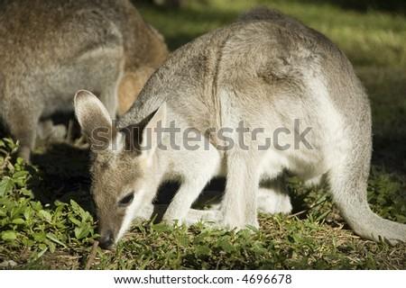 Wallabies grazing on grass near Bowen, Queensland, Australia - stock photo