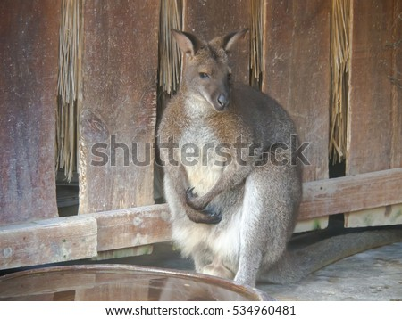 Wallaby is an animal has an australasian marsupial that is similar to, but smaller than, a kangaroo.