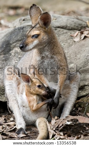 wallaby mum and joey - stock photo