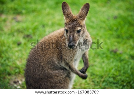 Wallaby on a Farm - stock photo
