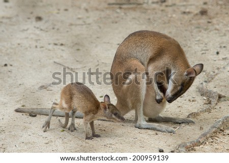 Wallaby / Young Wallaby / Mother Wallaby / Baby Wallaby - stock photo