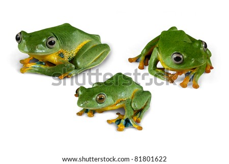 Wallace Flying Tree Frogs on white - stock photo